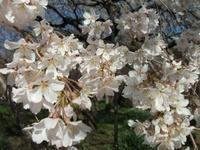 Sakura_110401h_2