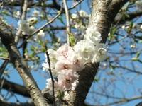 Sakura_110401j