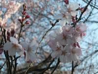 Sakura_110401l