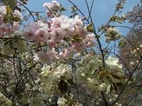 Sakura_110416a2