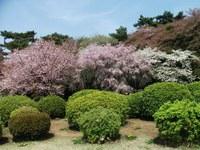 Sakura_110416a_2