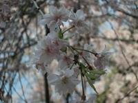 Sakura_110416d