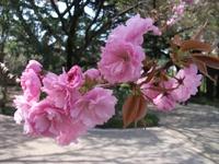 Sakura_110416e