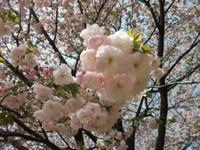 Sakura_110416f