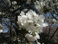Sakura_110416h_2