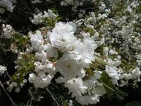 Sakura_110416k