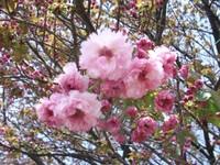 Sakura_110416l