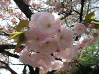 Sakura_110416m