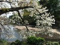 Sakura_110416o