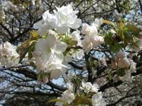 Sakura_110416q