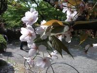 Sakura_110416r