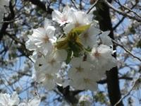 Sakura_110416s