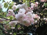Sakura_110416u