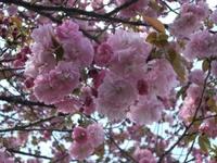 Sakura_110416v