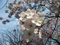Sakura_110416w