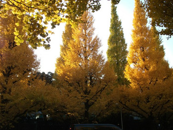 Ginkgoes1