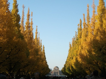 Ginkgoes2