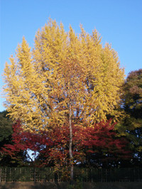 Ginkgoes3