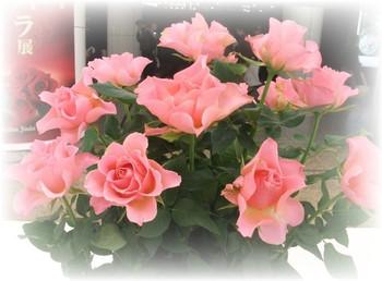 Roses2013autumn18