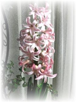 Hyacinthus2014