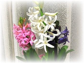 Hyacinth2015_2
