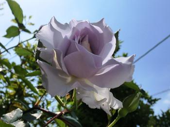 Spring_flowers12