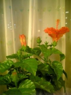 夏の花はハイビスカス