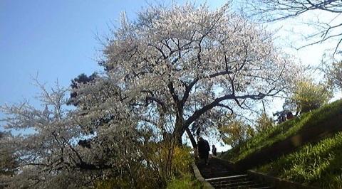 2012april_sakura